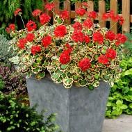 Pelargonium Tricolour - Mrs Pollock - Large