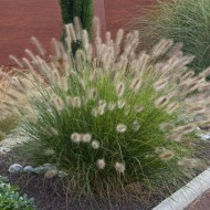 Pennisetum alopecuroides 'Little Honey' - Fountain Grass
