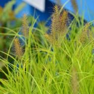 Pennisetum alopecuroides 'Hameln Gold' - Golden Fountain Grass
