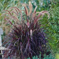 Pennisetum × advena 'Rubrum' - Summer Samba Fountain Grass