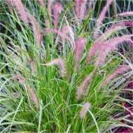 Pennisetum × advena 'Skyrocket' - Variegated Fountain Grass