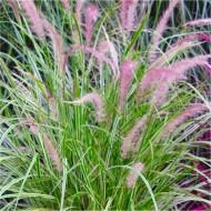 Pennisetum × advena 'Skyrocket' - Variegated Fountain Grass