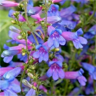 Penstemon heterophyllus Heavenly Blue Springs - Electric Blue Rock Candy Penstemon Beardtongue