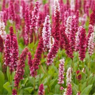 Persicaria affinis Darjeeling Red - Superb Groundcover