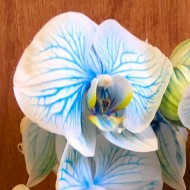 Luxury Double Stemmed Giant Flowered Delft Blue Phalaenopsis Moth Orchid