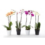 Luxury Phalaenopsis - Pack of THREE Moth Orchids with WHITE Pots in Assorted Colours