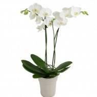 Phalaenopsis - Twin Stem White Moth Orchid - Complete with classic white display pot