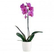 Phalaenopsis - PINK Moth Orchid with Classic White display pot