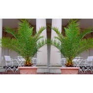 SPECIAL DEAL - PAIR of Giant Phoenix canariensis - Canary Island Date Palm - LARGE 6ft PATIO PALM TREES 150-200cms
