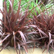 Phormium Bronze Baby - New Zealand Flax