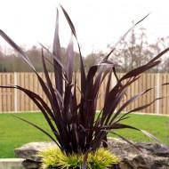 Phormium tenax purpureum - New Zealand Flax