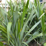 SPECIAL DEAL - Phormium tenax - New Zealand Flax