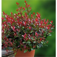 Photinia ''Little Red Robin'' - Compact Evergreen Shrub