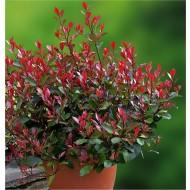 Photinia ''Little Red Robin'' - Compact Evergreen Shrub
