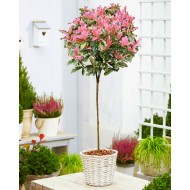 Hardy Evergreen Photinia serratifolia PINK CRISPY Standard Topiary Tree