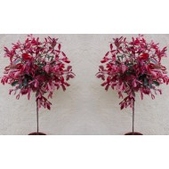 SPECIAL DEAL - PAIR of Hardy Evergreen Photinia PINK MARBLE Standard Topiary Trees