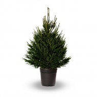 Premium Quality Fresh Christmas Tree 140-170cms, Potted Norway Spruce - FOR IMMEDIATE DELIVERY