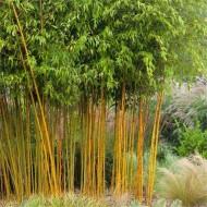 Phyllostachys aurea aureocaulis - Yellow-Groove Bamboo - 150-180cm