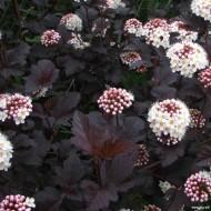 Physocarpus opulifolius Diabolo - Diablo Ninebark