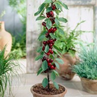 Cherry - Prunus Avium Van - Patio Pillar Fruit Tree