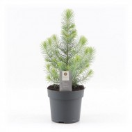 Mini Christmas Tree - Silver Crest Pine