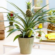 Ananas - Indoor Pineapple Plant