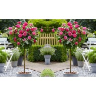 Pair of Standard PINK Flowering PATIO Rose Trees 80cm tall