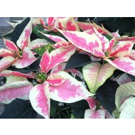 LARGE MARBLED Poinsettia - Essential Christmas Plants