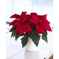 RED Poinsettia - The Essential Christmas Plant