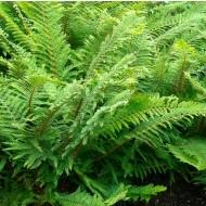 Polystichum setiferum proliferum Plumosum Densum - Mossy Soft Shield Fern