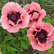 Papaver orientale 'Victoria Louise' - Oriental Poppy