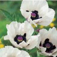 Papaver orientale 'Royal Wedding' - White Oriental Poppy