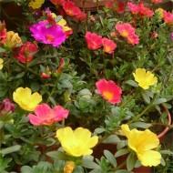 Extra Large Flowering Portulaca Succulent Plant
