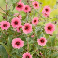 Potentilla napalensis Miss Willmott