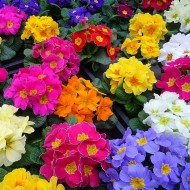 Potted Primroses in Bud and Bloom - Instant Colour - Just £1.49!