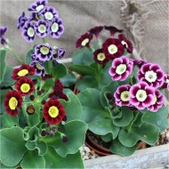 Auricula Plant Collection - Pack of THREE Plants