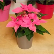 Pretty Pink Princettia in Silver Pot - Poinsettia Plant
