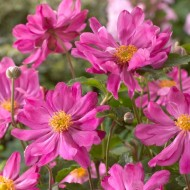 Anemone hupehensis Prinz Heinrich - Japanese Anemone - Windflower