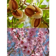 Prunus dulcis - Patio Almond Tree
