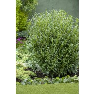 Prunus laurocerasus Szofi (Sofia) - Hardy Dwarf Evergreen Laurel