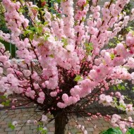 Prunus triloba - Double Flowering Cherry-Almond - LARGE 100-120cm SHRUB
