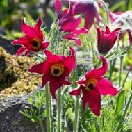 Pulsatilla vulgaris Rubra - Red Pasque Flower