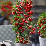 Pyracantha coccinea Red Star - Firethorn