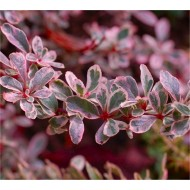 Pyracantha Sparkler - Variegated Evergreen Pyracantha