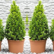 Pair of Premium Quality Topiary Buxus PYRAMIDS - Stylish Contemporary Plants