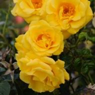 Climbing Rose Gardeners Glory