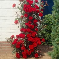 Large 6-7ft Specimen - Climbing Red Rose - Musimara