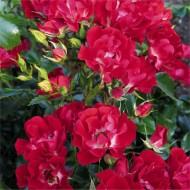 Large 6-7ft Specimen Climbing Rose- Rose Rambling Rosie - Courtyard Climber