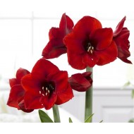 Amaryllis - Red Lion - Gift Boxed Hippeastrum Bulb - Growing Kit