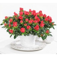 Beautiful Christmas RED Azalea in Classic White Pot bursting in to bloom with Chocolates & Gift Tag